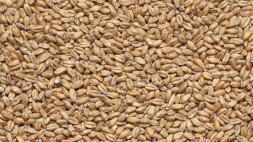 Пшеничный, Белорусский солод 1 кг